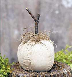 Stuffed Ivory Pumpkin with Wood Stem