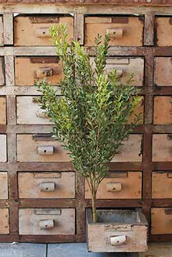 New England Boxwood Bush