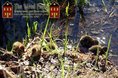 Baby ducklings at The Weed Patch in Bothell's Country Village!