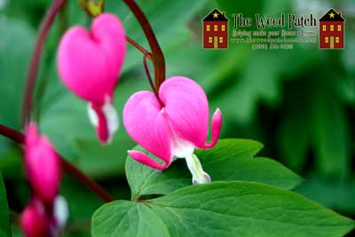 Bleeding Heart, at The Weed Patch