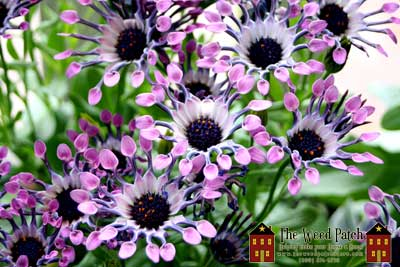 Astro Spoon Osteospermum at The Weed Patch