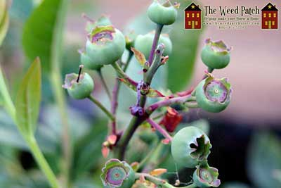 Garden Update 6/4/12 - Blueberries