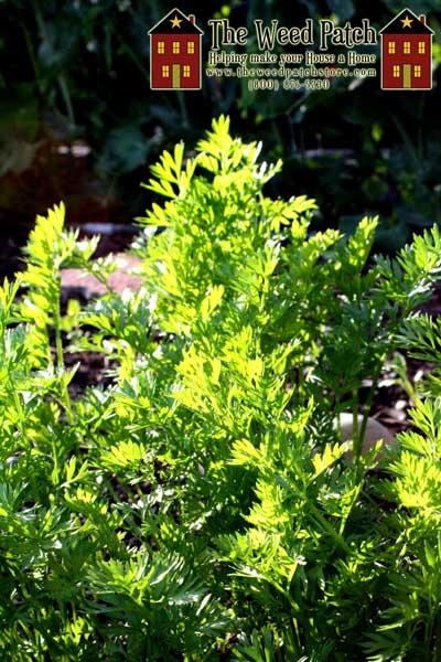Garden Update 6/4/12 - Carrots