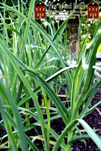 Garden Update 6/4/12 - Garlic
