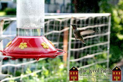 Garden Update 6/4/12 - Hummingbird
