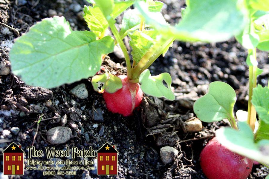 Garden Update 6/4/12 - Radishes