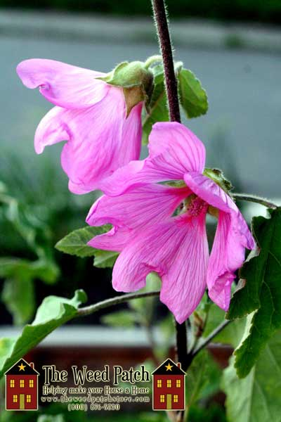 Garden Update 6/4/12 - Tree Mallow