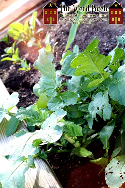 Garden Update 6/4/12 - Watermelon Radishes