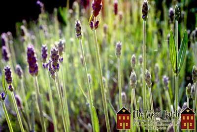 Hidecote Lavender