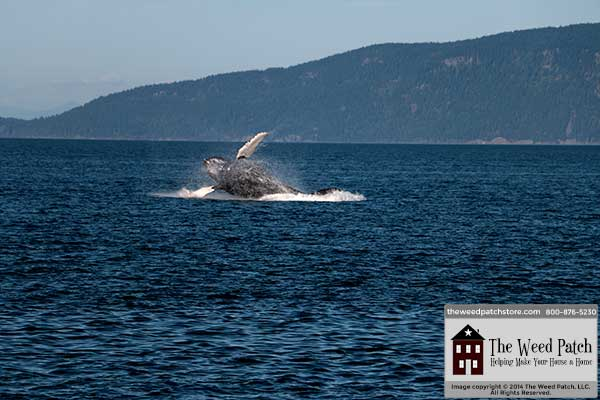 Whale Watching - Humpback Breach at The Weed Patch