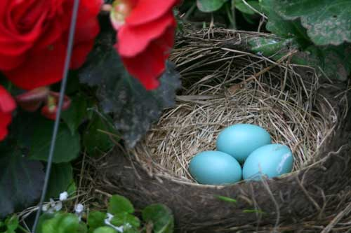 Robin's Nest and Eggs at The Weed Patch