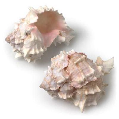 Pink Murex Shell