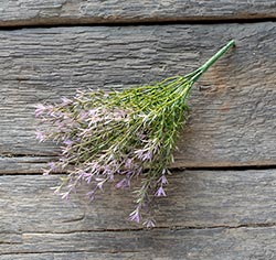 Lavender Asparagus Bush